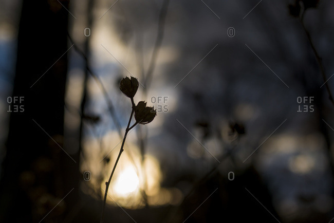 Silhouette of plant in winter sunset