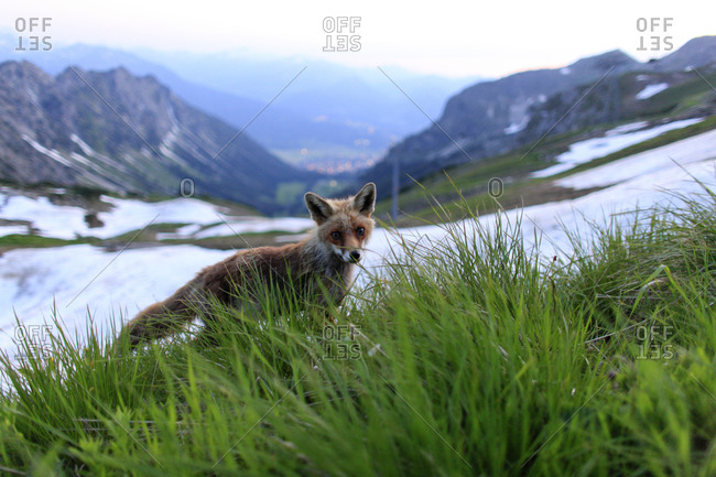 Red fox cub in the Alps of Germany