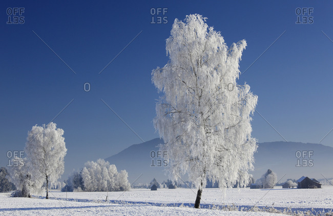 Tall tree in field covered by snow, Germany