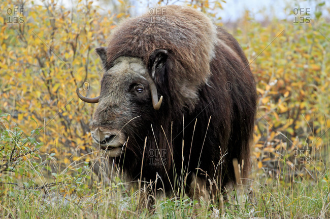 Muskox walking in wild in Alaska