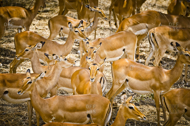 Herd of impalas in Tanzania