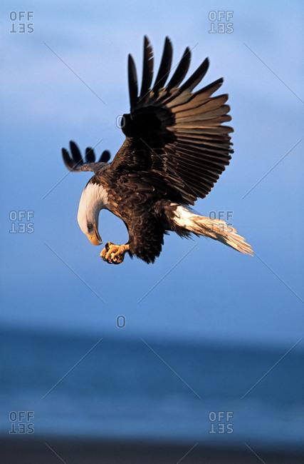 Bald eagle eats prey in midair