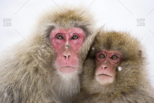 Two macaques huddling in winter