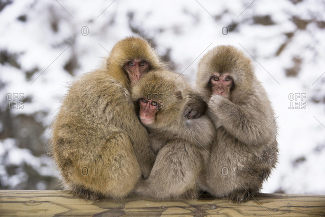 Three macaques huddling in winter