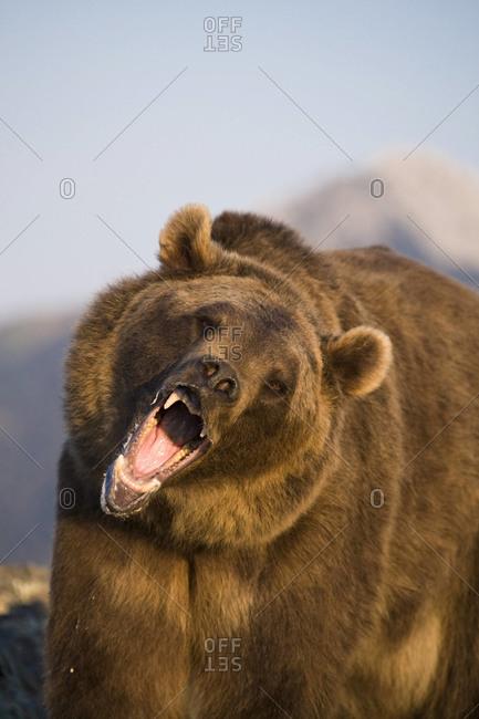 A roaring brown bear