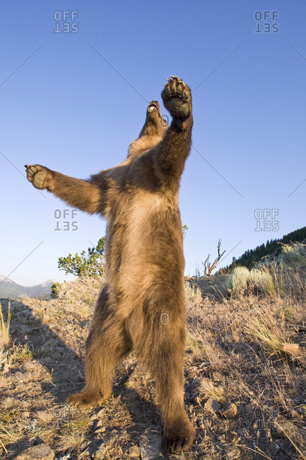 A brown bear stands upright