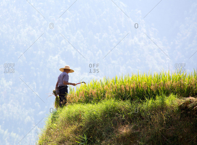 Man harvesting in rice field on a cliff in Guilin, China