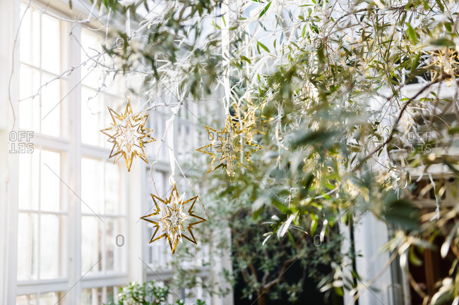 Indoor olive tree with traditional Danish golden Christmas stars