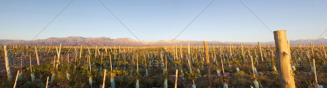 Panoramic photo of vineyard with mountain range in distance