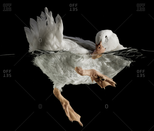 White duck swimming with tail feathers up in the air on black background