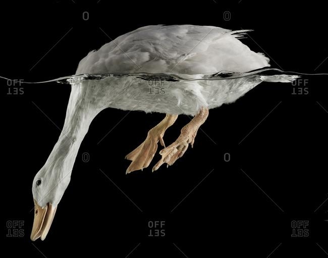 White duck with head underwater on black background