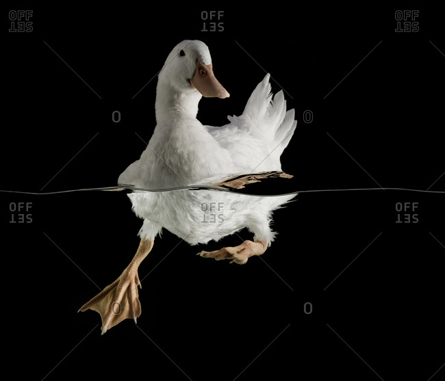 White duck paddling in water on black background