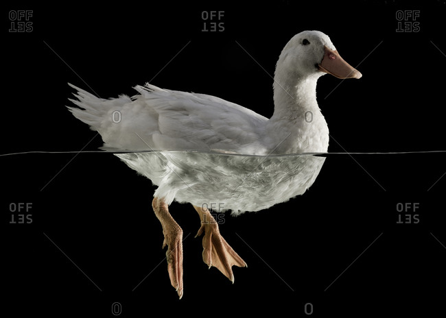 White duck swimming on black background