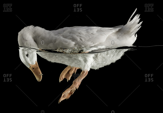 White duck with head in the water on black background
