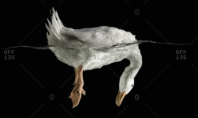 White duck with head in the water and tail feathers in the air on black background