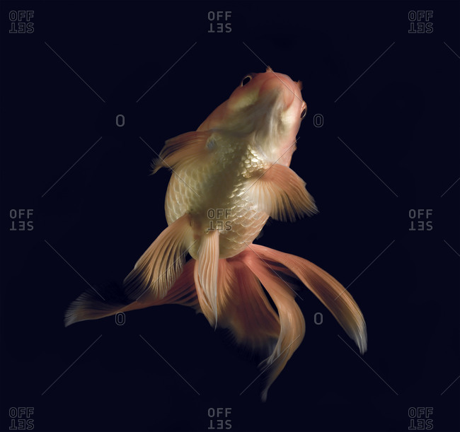 Goldfish swimming upwards against black background