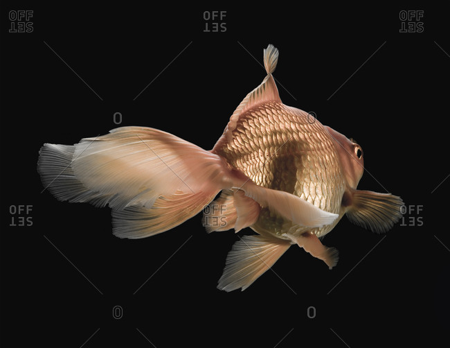 Goldfish swimming in front of black background