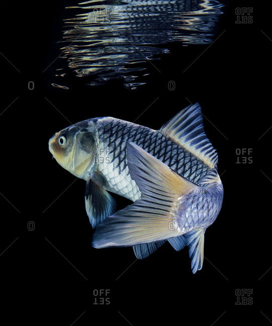 Blue and silver koi swimming