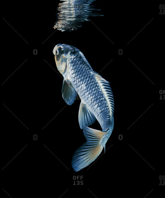 Blue and silver koi swimming on a black background