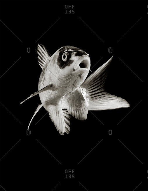 Close up of koi floating in black and white