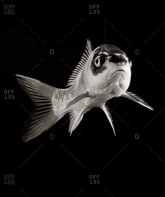 Koi floating in black and white