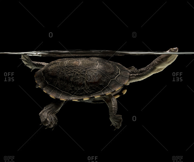 Portrait of an eastern long-necked turtle swimming in aquarium against black background