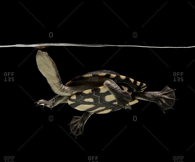 Eastern long-necked turtle swimming in aquarium against black background