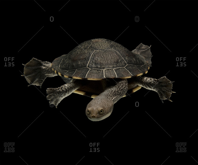 Eastern long-necked turtle swimming against black background
