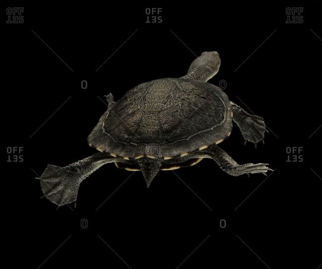 Eastern long-necked turtle swimming away against black background
