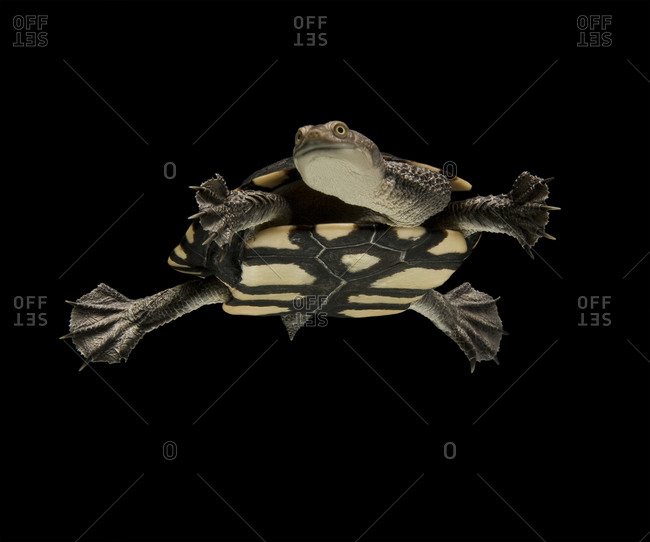 Eastern long-necked turtle swimming in tank against black background
