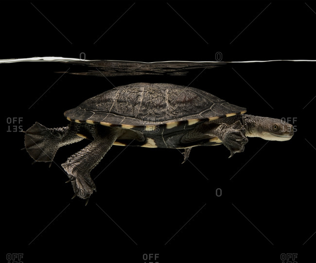 Portrait of eastern long-necked turtle swimming in tank against black background