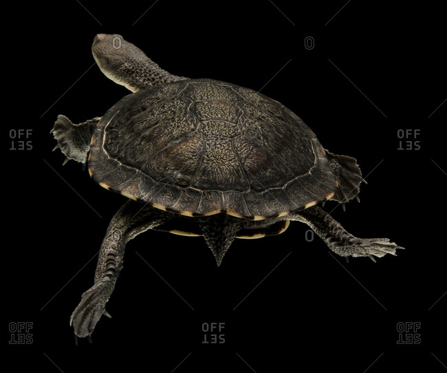 Eastern long-necked turtle swimming in an aquarium