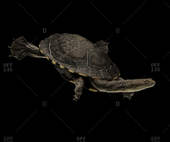 Eastern long-necked turtle swimming in a tank