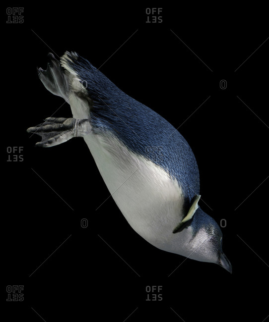 Australian fairy penguin diving head down
