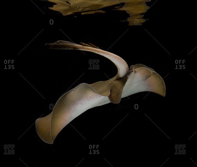 Australian salt water stingray swimming on black background