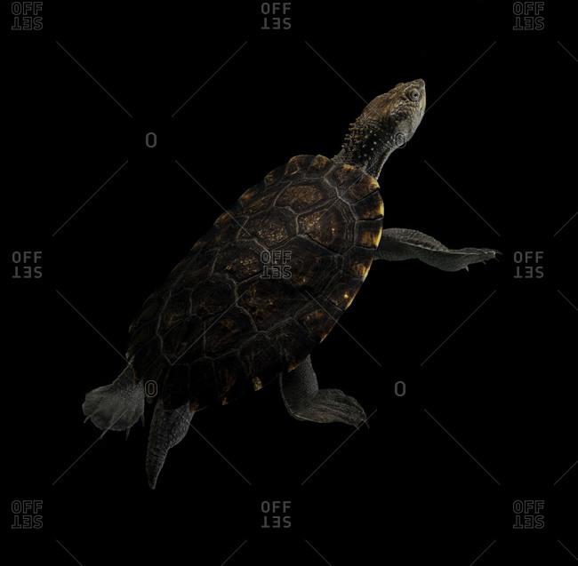 Portrait of Australian freshwater turtle