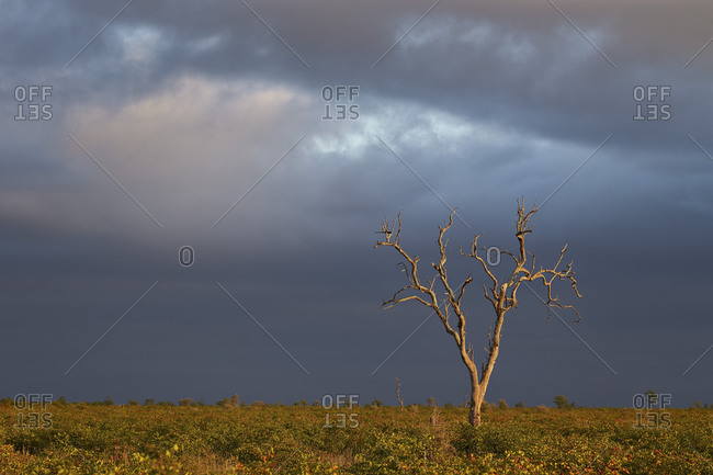 Bare tree with dark clouds, Kruger National Park, South Africa, Africa