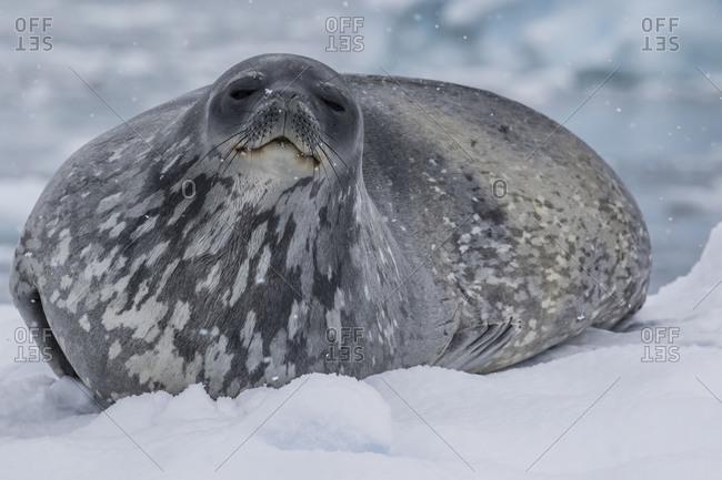 Adult Weddell seal (Leptonychotes weddellii), hauled out on ice in Buls' Bay, Brabant Island, Antarctica