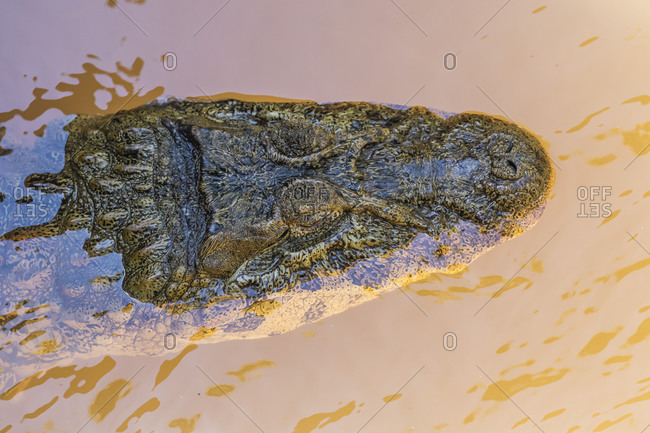 Adult Yacare caiman (Caiman yacare), head detail, within Iguazu Falls National Park, Misiones, Argentina