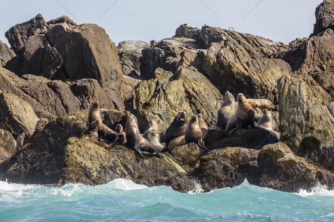 Steller sea lion (Eumetopias jubatus), haul out on S'Gang Gwaay Llanagaay, Anthony Island, Haida Gwaii (Queen Charlotte Islands), British Columbria, Canada