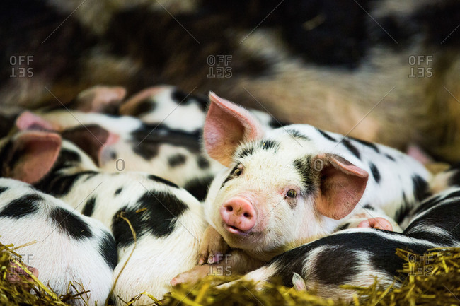 Piglets in Gloucestershire, England, United Kingdom