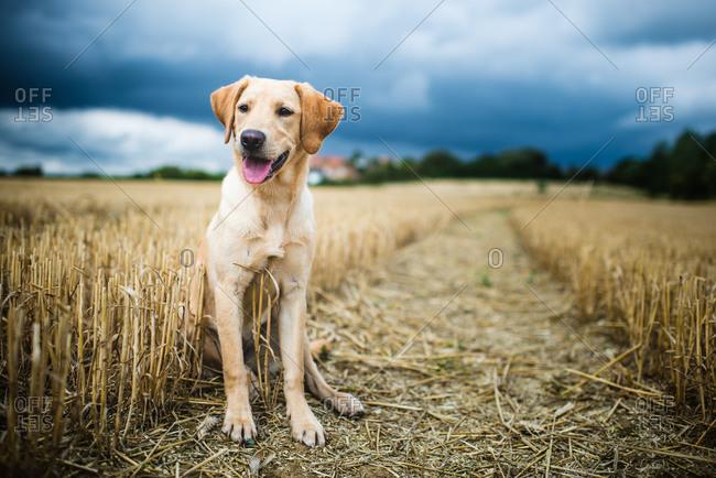 Labrador in field, Oxfordshire, England, United Kingdom