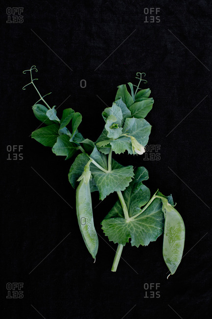 Pea pods on a stem with leaves