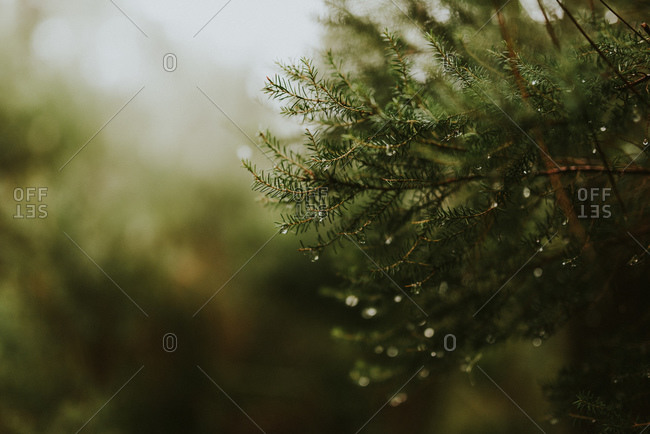 Water droplets on a pine tree branch