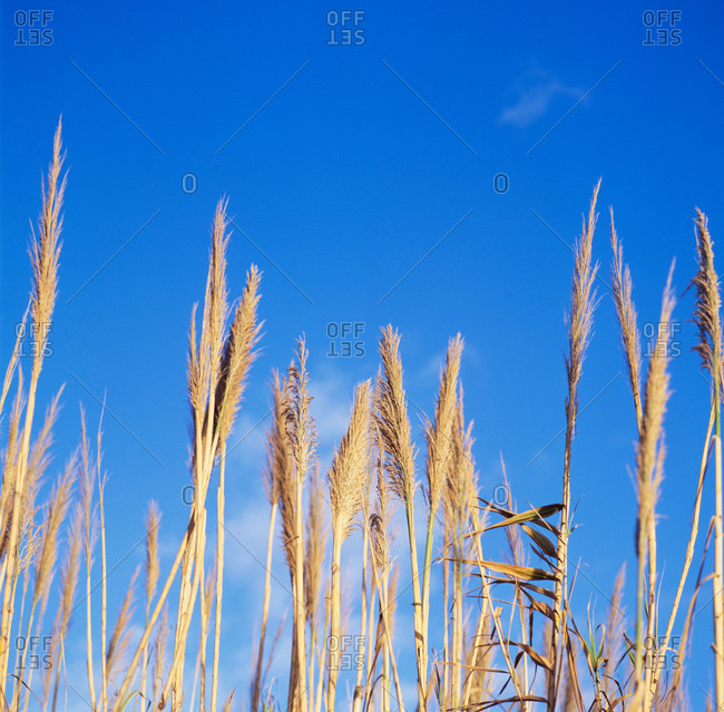 Fronds of grass against a bright blue sky