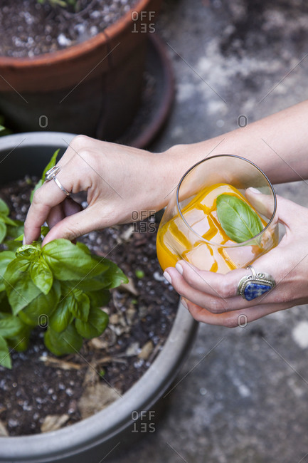 Woman adding fresh basil leaves into orange cocktail