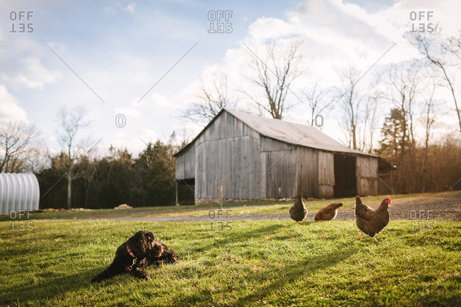 Dog and chickens near an old barn