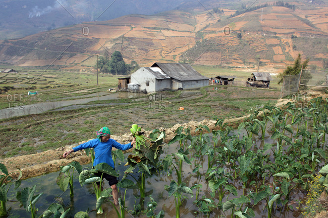 Northern Vietnam - March 16, 2012: A women tends her crops at Lao Chai in the Highlands near Sapa