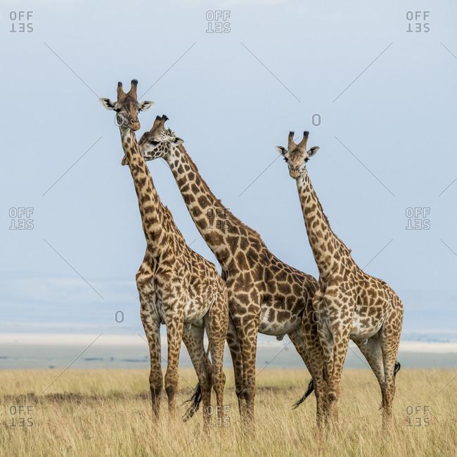 Maasai Mara National Reserve, Mara Conservancy, Mara Triangle, Mara River Basin, Maasai giraffe, Kenya