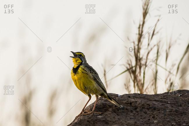 Maasai Mara National Reserve, Mara Conservancy, Mara Triangle, Mara River Basin, yellow-throated long claw, singing, Kenya